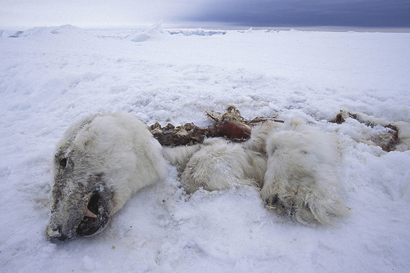 Dead Polar Bears resized
