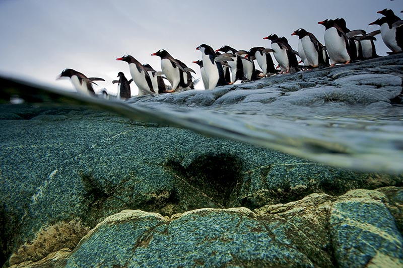 Going go sea, gentoo penguins, line up and quickly dive in together.