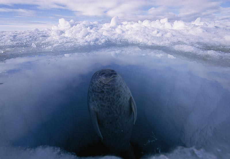 A ringed seal looks for polar bears while surfacing from its hole.