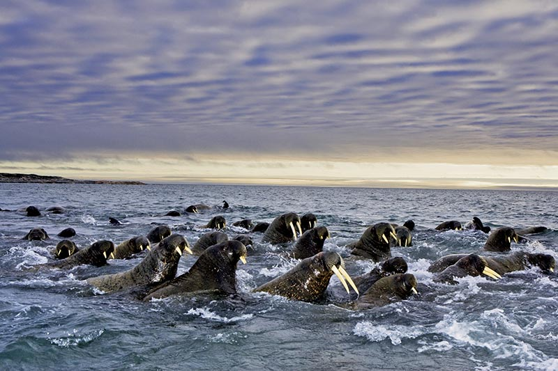 Atlantic walruses migrating from Russia.