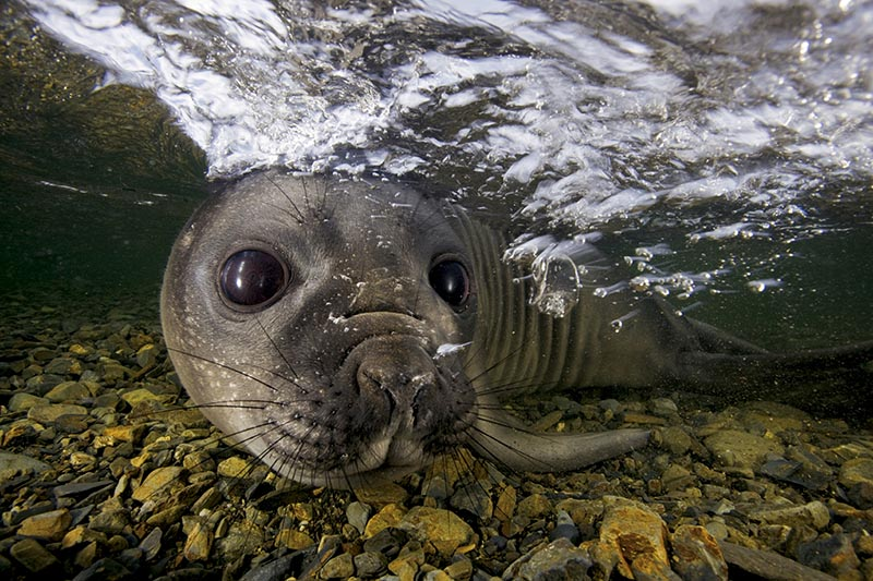 An elephant seal pup plays in a freshwater stream.
