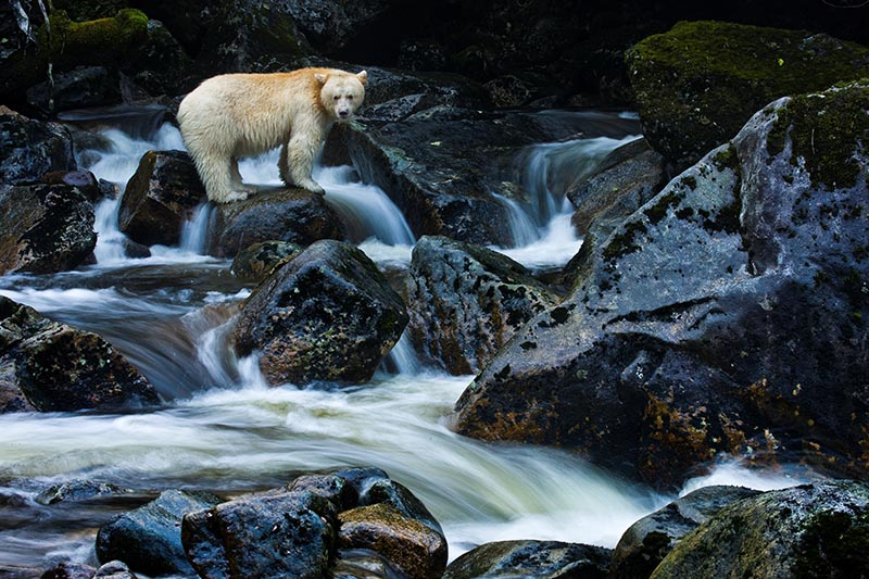 A kermode bear, a black bear born with white fur, perches on a rock.